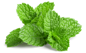 Menthol uit Akkermunt; ingrediënt van eikenprocessierups lotion